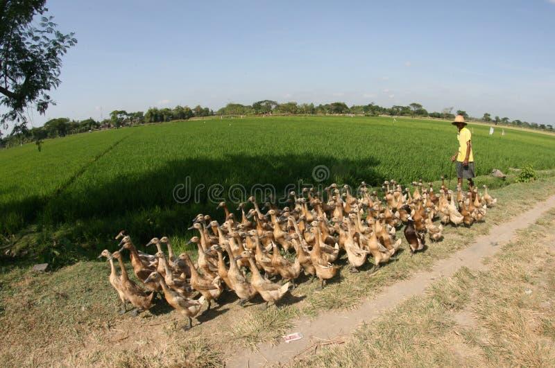 Download Herding ducks editorial stock image. Image of java, solo - 34410534