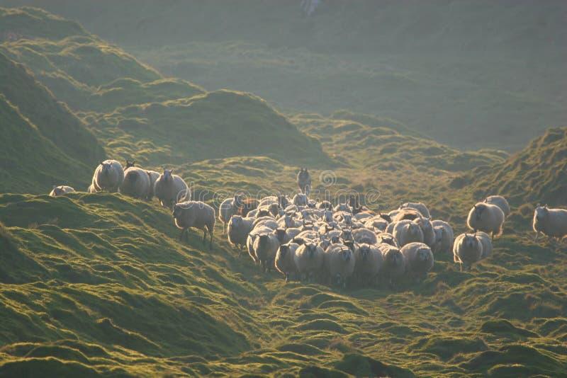 Herding the flock royalty free stock photo