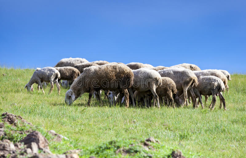 Herding sheep on the grassland. Shot in Beijing, Chinese Zhangjiakou grassland Road stock images