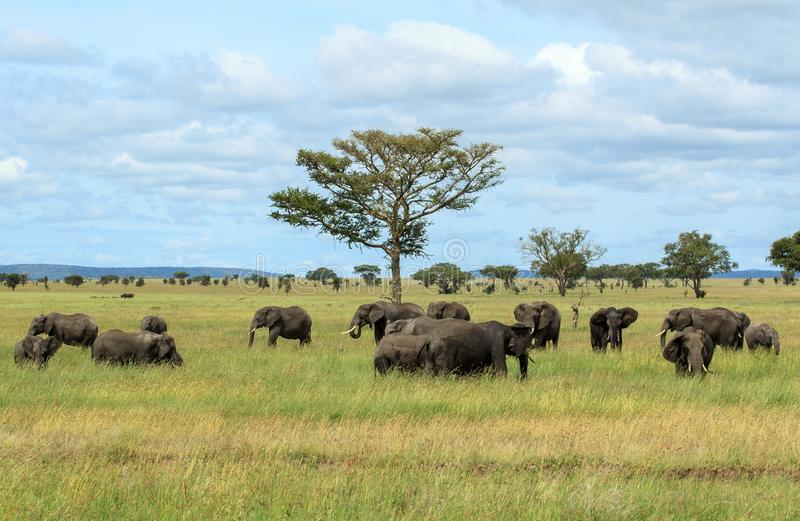 Herds of African Elephants in the Serengeti National Park stock image