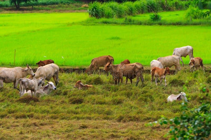 Download Herds. stock photo. Image of behavior, wildlife, farmland - 33055562
