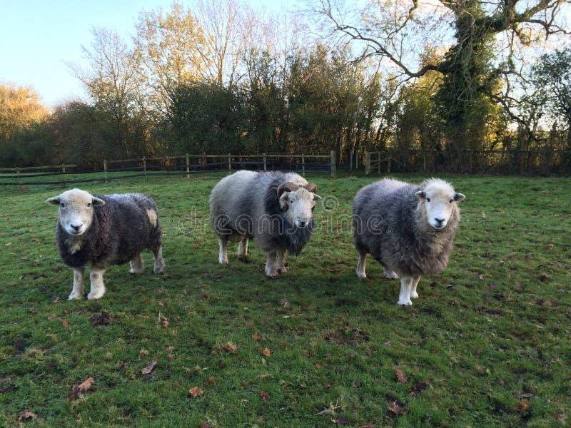 Herdwick Ram和母羊 库存图片