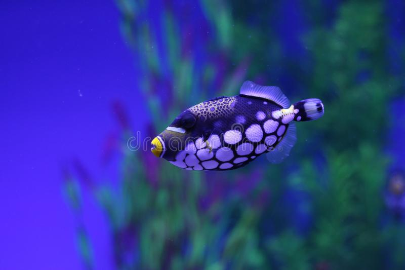 Here is a colorful fish. With white spots and yellow mouth. Really very beautiful stock photo