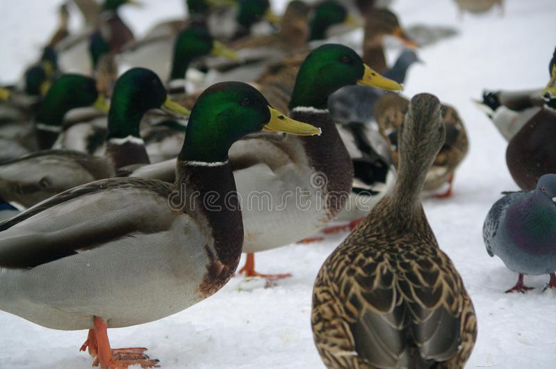 Ducks in winter royalty free stock photo