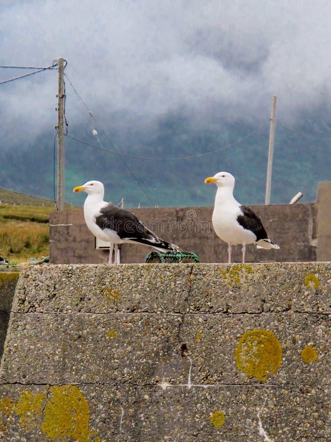 Two black and white sea gulls stock photos