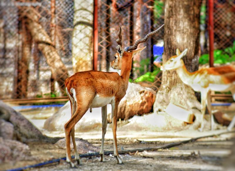 Oh deer. Here a pic of a little deer in the zoo searching for his mother stock photos