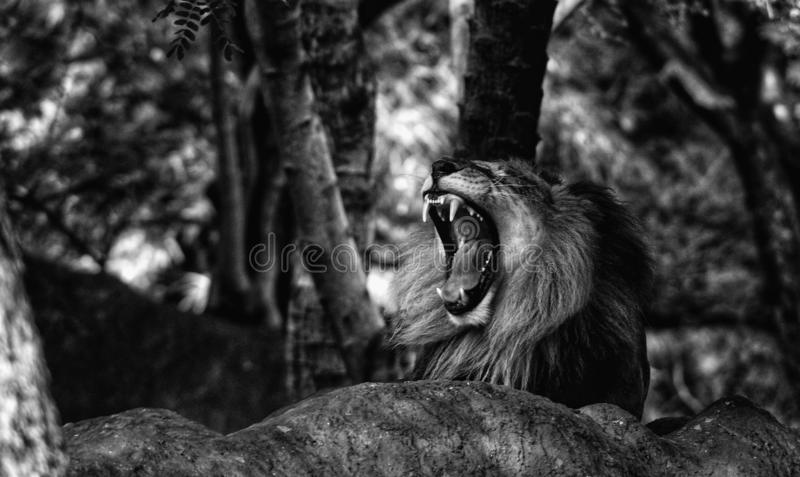 The roar. Here& x27;s the pic of a ling lion sitting and roaring royalty free stock photo