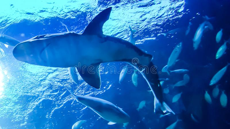 Shark in the water royalty free stock images