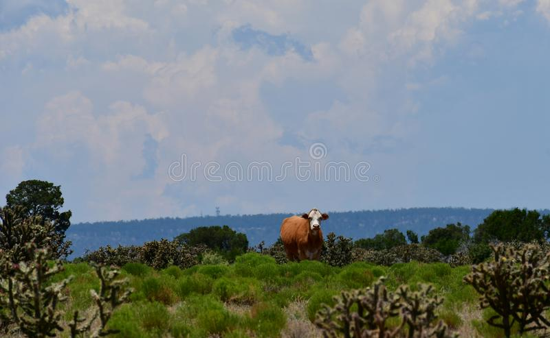 Hereford Cattle in a field in Texas. The Hereford is a British breed of beef cattle that originated in the county of Herefordshire, in the West Midlands of stock photo
