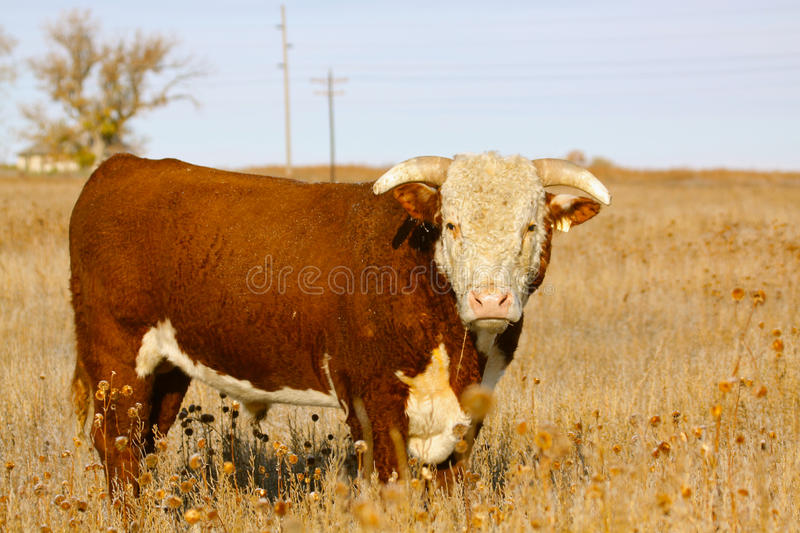 Hereford Bull stockfotos