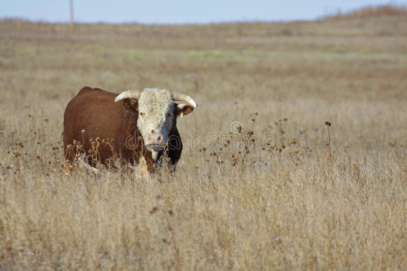 Hereford Bull. A hereford bull standing in a pasture royalty free stock image