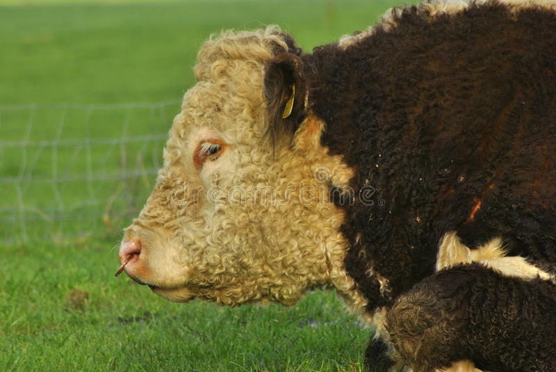 Download Hereford Bull stock photo. Image of curly, nose, bull - 22824284