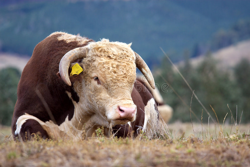 Hereford bull. A high country Hereford bull resting in a paddock royalty free stock photography