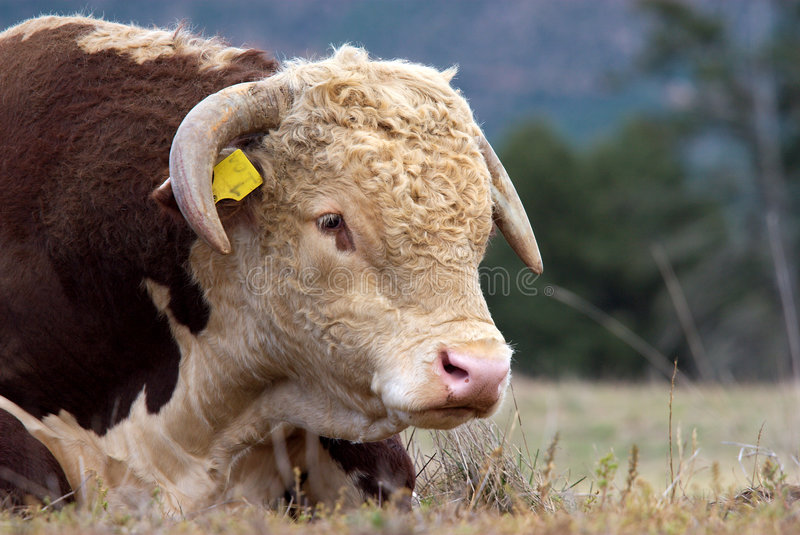 Hereford bull. A high country Hereford bull resting in a paddock royalty free stock photos
