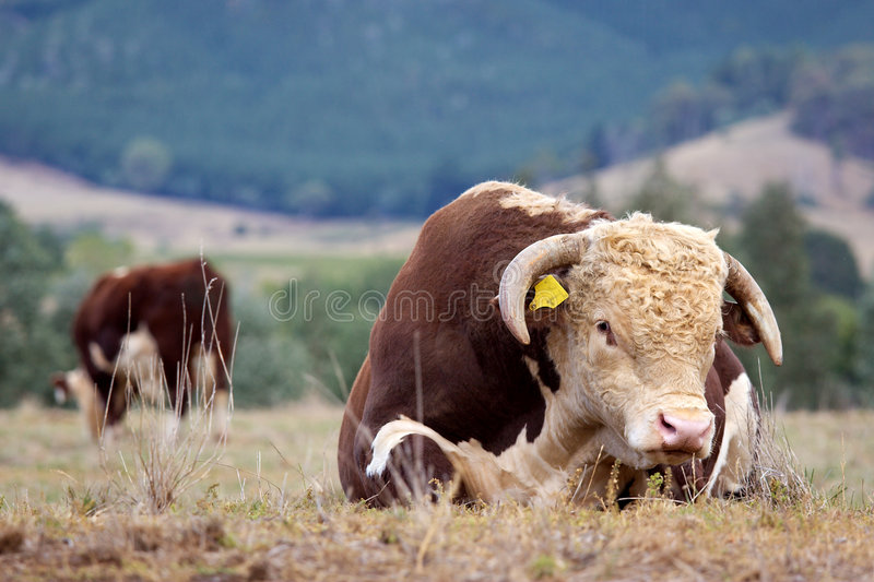 Hereford bull. High country Hereford bulls in a paddock royalty free stock photography