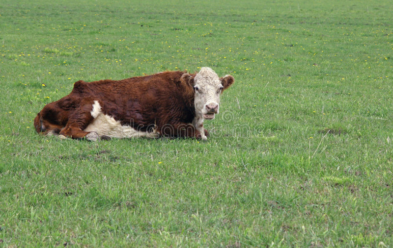 Hereford bull. Laying on a green pasture stock photography
