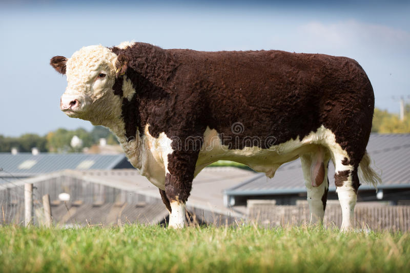 Hereford Bull stockfotografie