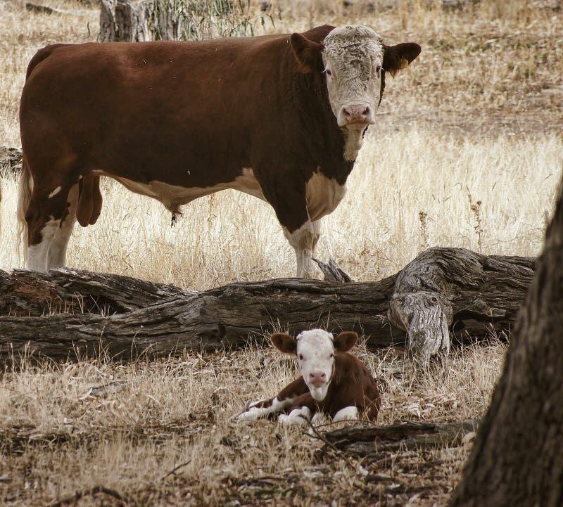 Hereford Bull стоковая фотография rf