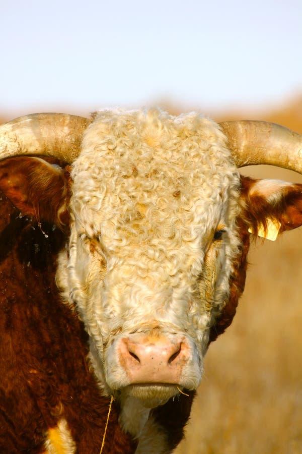 Hereford Bull Portrait lizenzfreies stockbild