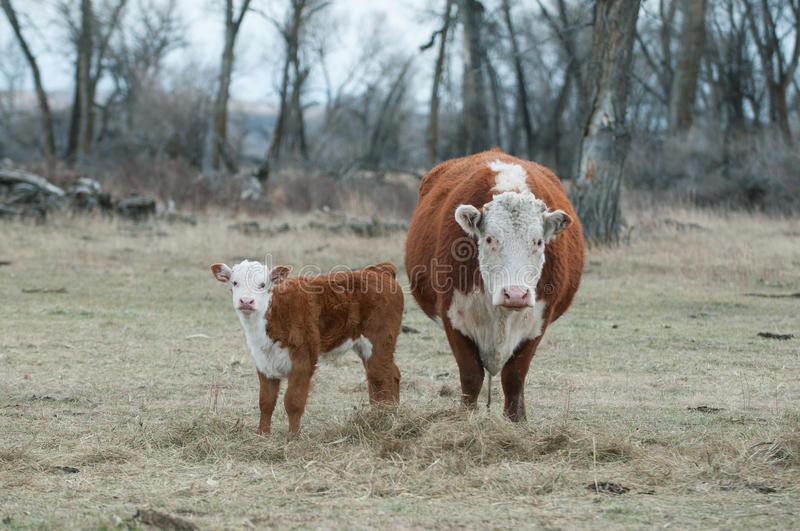 Hereford Calf and Hereford Cow stock photo