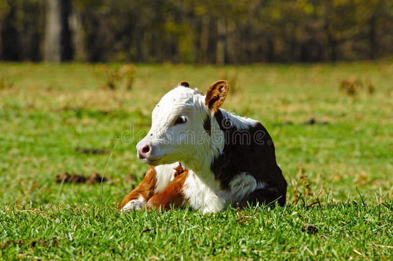 Hereford Calf. A Hereford calf lying in a field royalty free stock photography