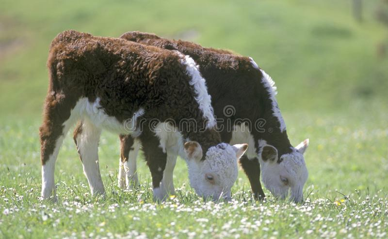 Hereford calves twins grazing stock images