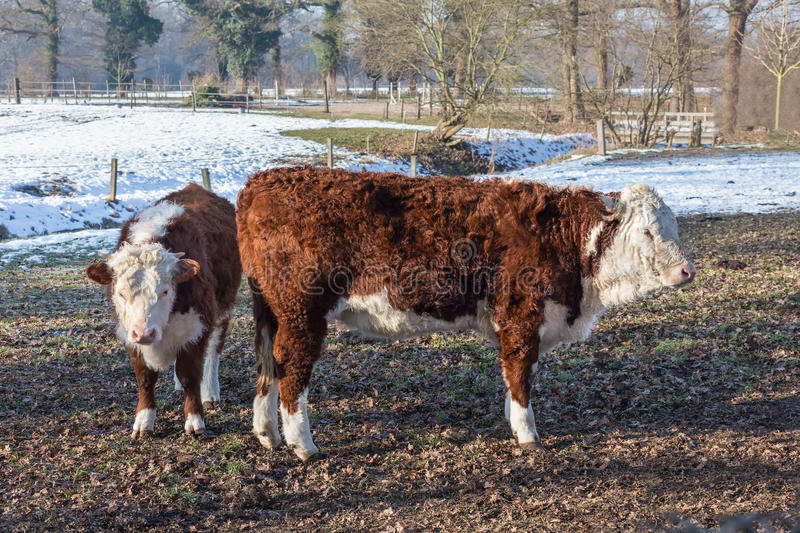 Hereford calves in winter meadow with snow royalty free stock images