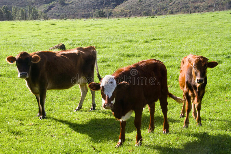 Hereford cattle. Grazing on a farm royalty free stock images