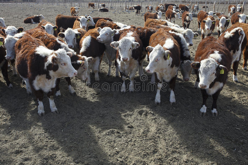 Hereford cattle. On argentine farm royalty free stock photography