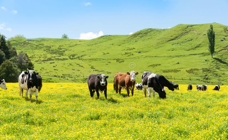 Hereford cattle grazing a field of yellow buttercup. In front of green hills stock image