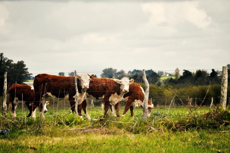 Hereford cattle in a farm. Hereford cattle looking at camera in a farm royalty free stock images