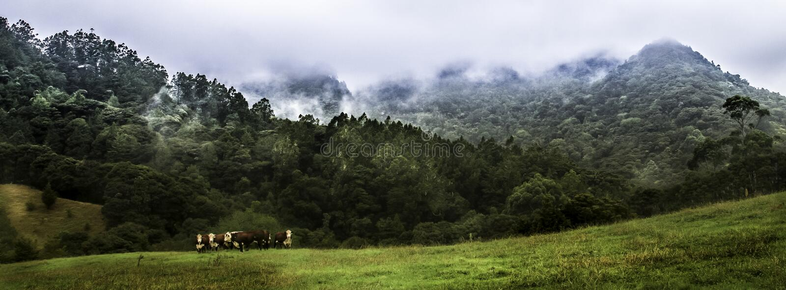 Hereford cattle with wild scenic background. Misty. wild forest background, hereford, cattle, nature, farming, agriculture, meadow, pasture, rural, mammal stock photos