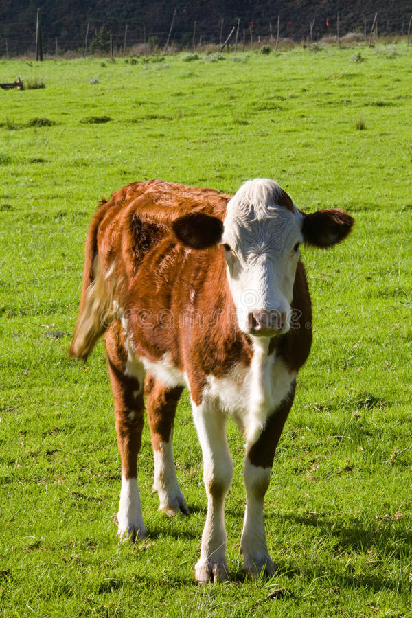 Free Hereford Cow Royalty Free Stock Images - 21446469