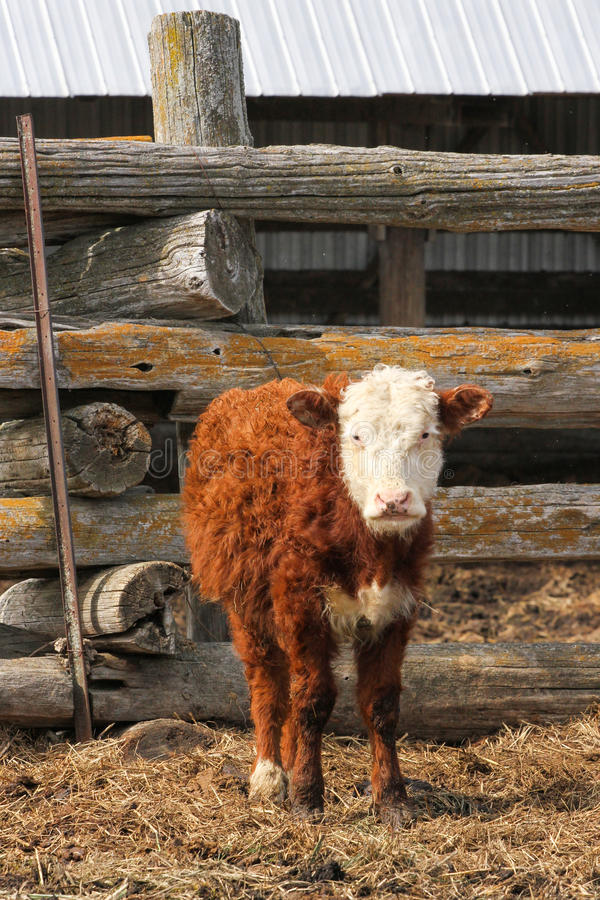 Hereford Cow Calf on Farm. A Hereford calf stands outside the barn stock images