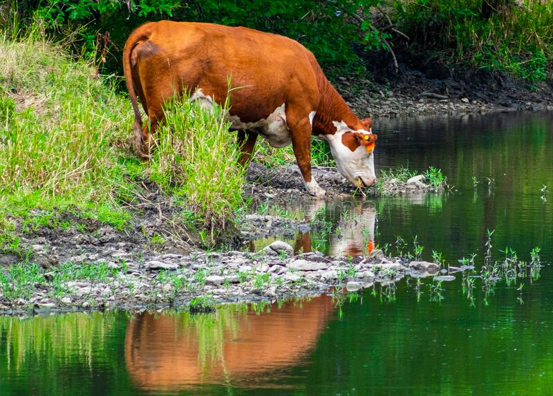 Hereford Cow Drinking at a Creek royalty free stock image