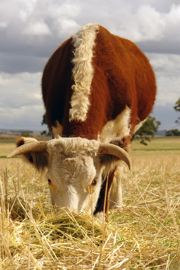 Free Hereford Cow Grazing In Field Stock Image - 7926741