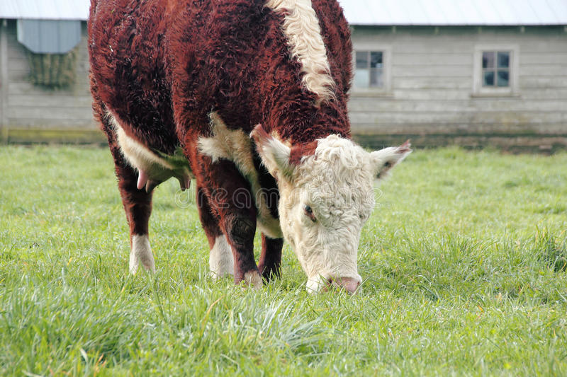 Hereford Cow Grazing in Pasture stock photography