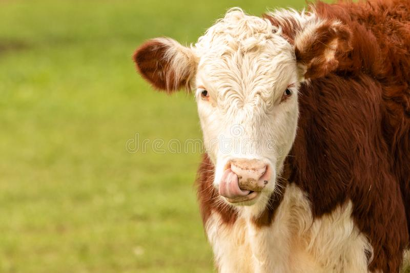 Hereford Cow in green field stock images