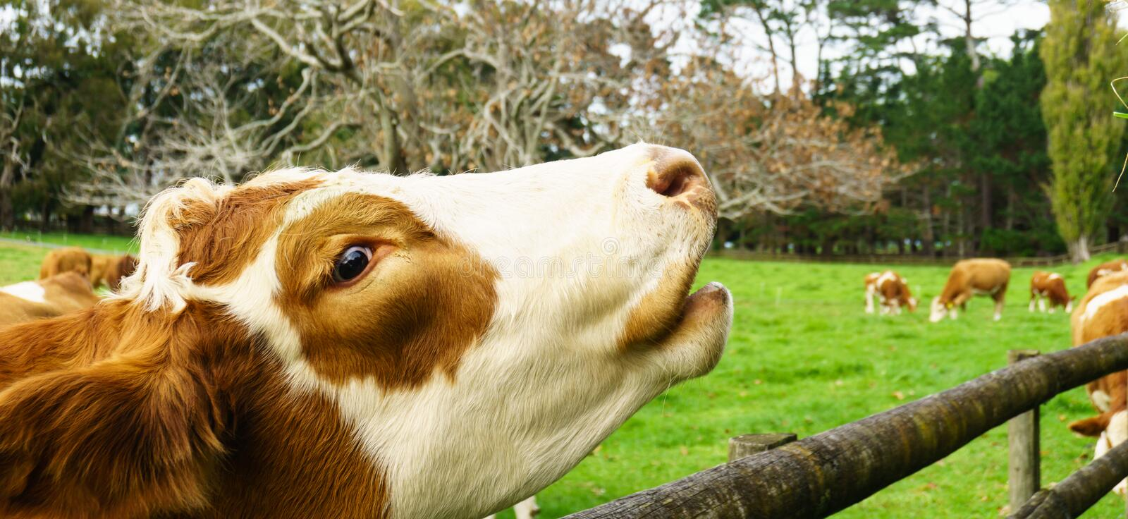Hereford cow head. Hereford cow reaches over wooden rail fence on farm stock photos