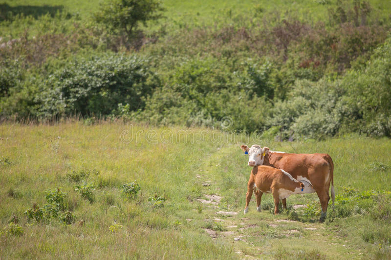 Hereford cow and nursing calf stock photography