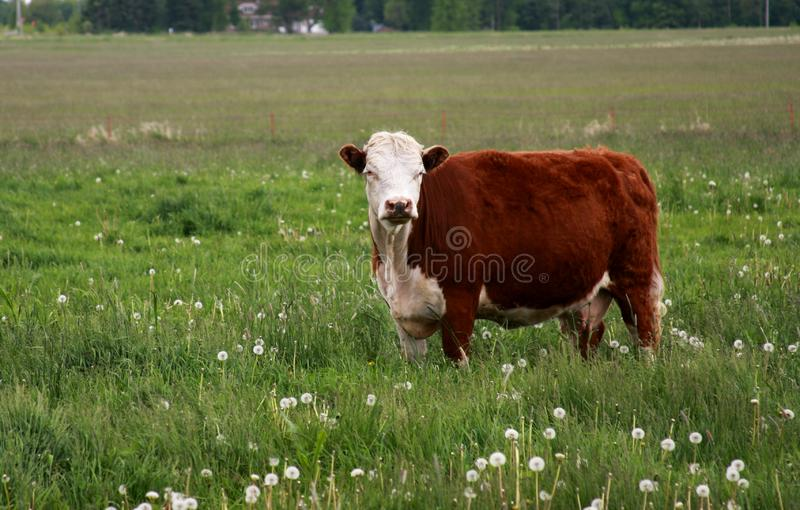 Hereford Cow in a Summer Pasture royalty free stock image