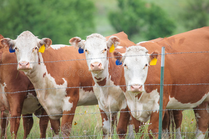 Hereford Cows. Horizontal image of three Hereford cows in a green pasture stock photography