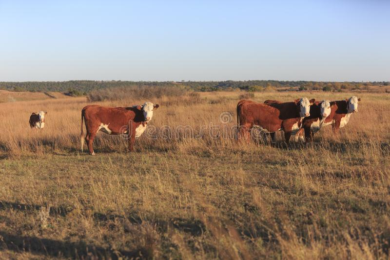 Hereford Cows. In a pasture in the flinthills of Kansas stock photography