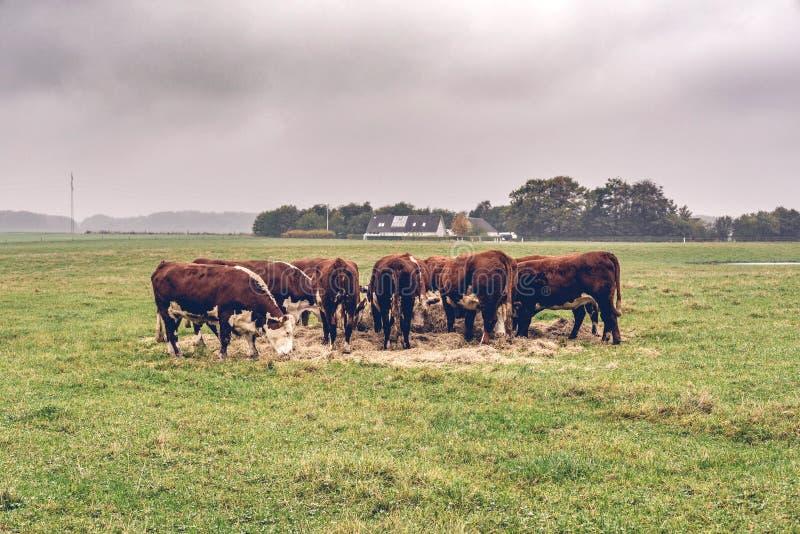 Hereford effraye manger le foin sur un champ vert image libre de droits