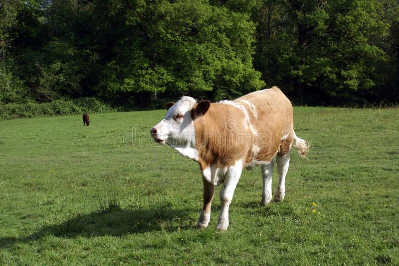 Hereford heifer cow. Hereford cattle in a farmland. Farm animal of a Hereford Heifer cow cattle or a beef cattle breed in a farm in the countryside of England stock photo