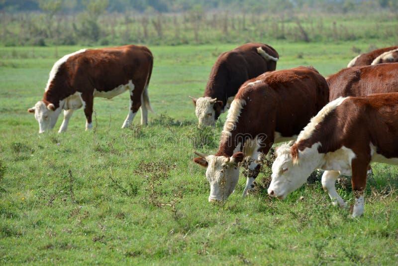 Hereford-Herde auf einer Weide stockbilder