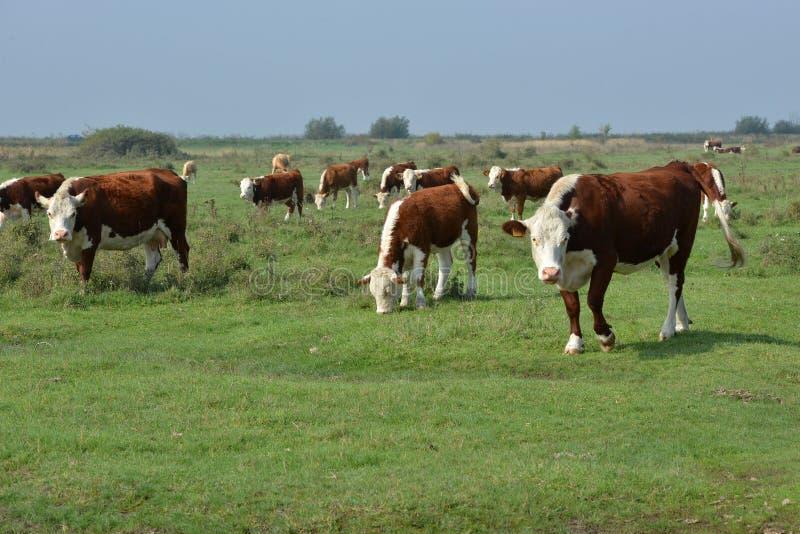 Hereford-Herde auf einer Weide lizenzfreie stockfotografie