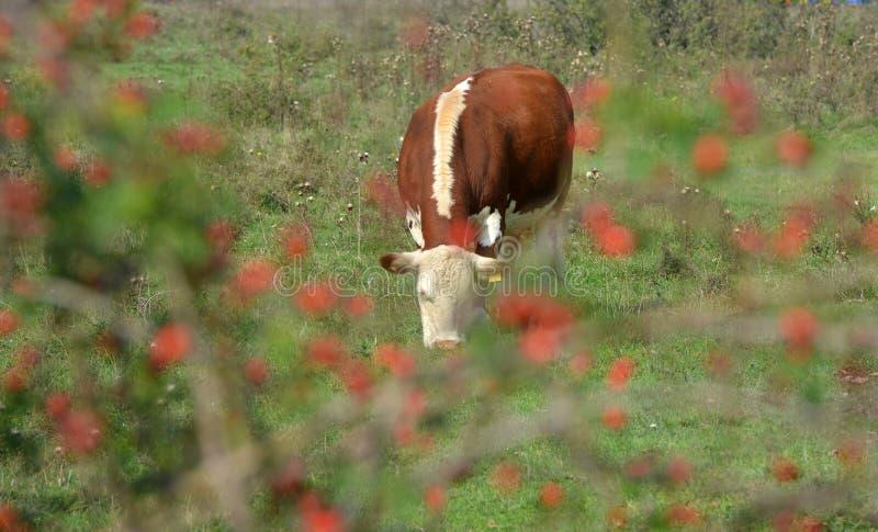 Hereford-Herde auf einer Weide lizenzfreies stockbild