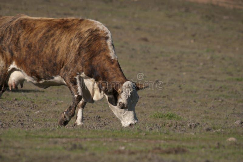 Hereford Kuh stockfoto