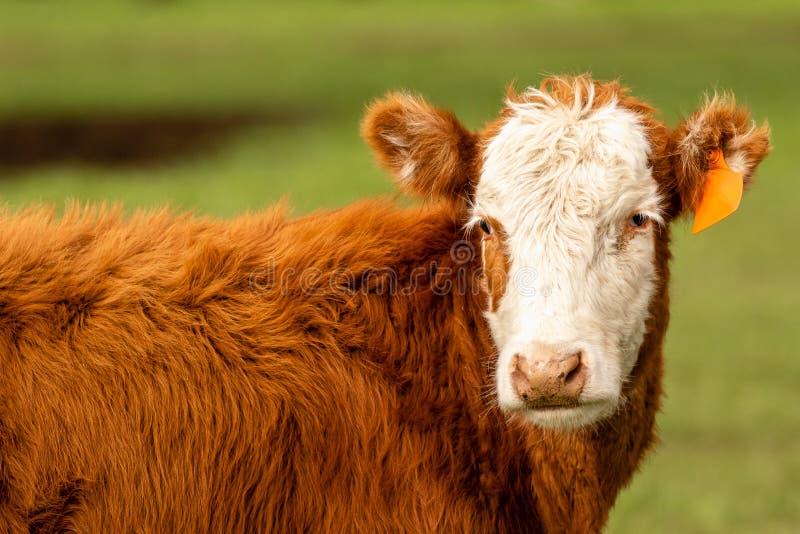Hereford-Kuh auf dem grünen Gebiet stockfoto